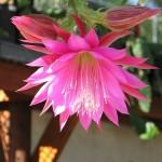 Fiore di Epifillo