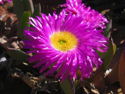 Fiore di Mesembriantemo