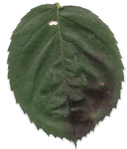 Come curare la fumaggine e proteggere le piante share - Malattie limone fumaggine ...