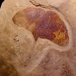 Foglia fossile