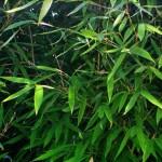 Foglie di bambù