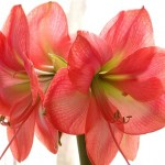 Forzare la fioritura dei bulbi - Amaryllis