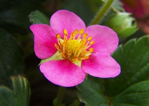 Coltivare le fragole anche come piante ornamentali giardinaggio