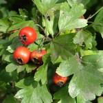 pianta spontanea per attenuare l'ipertensione