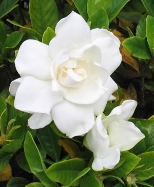 Cosa fare in aprile per le piante in casa e in balcone - Gardenia pianta da giardino ...