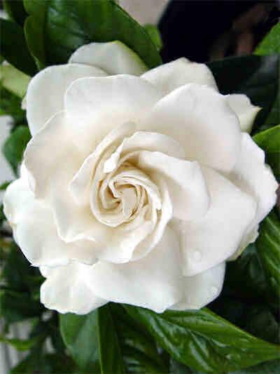 Realizzare un giardino romantico il giardino bianco - Gardenia pianta da giardino ...