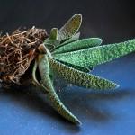 Gasteria Verrucosa - esemplare svasato