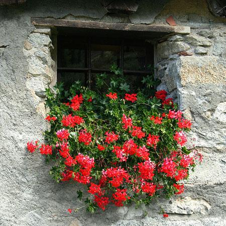 I gerani coltivazione e parassiti dei re dei balconi for Talea edera