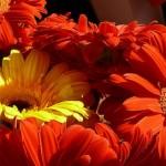 Gerbere - piante mangiafumo