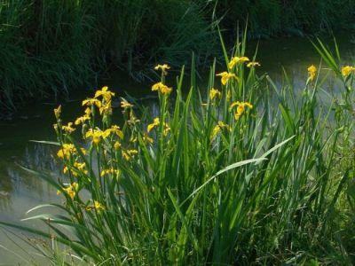 Specchi d acqua vitali i giardini acquatici for Fiori acquatici