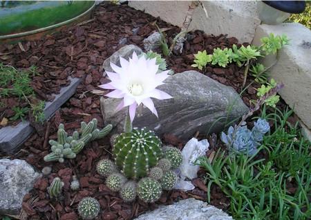 Giardino roccioso con succulenta in fiore