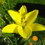 Giglio in fiore