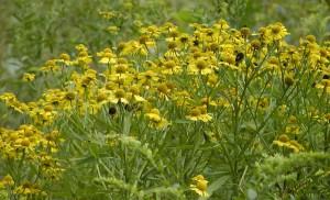 pianta erbacea perenne