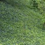 manto erboso piante tappezzanti