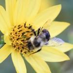 """Helianthus """"Lemon Queen"""" - particolare fiore"""