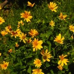 Heliopsis helianthoides - come dei girasoli