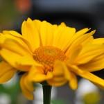 Heliopsis helianthoides - particolare fiore