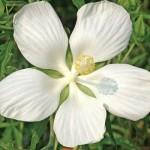 Hibiscus coccineus alba