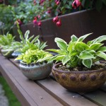 Hosta foglie decorative