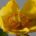 L'Hypericum calycinum fiorisce da giugno a settembre. Il fiore di iperico è caratterizzato da numerosi stami
