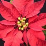 I fiori della Stella di Natale