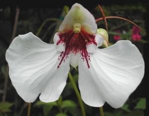 orchidea Impatiens tinctoria
