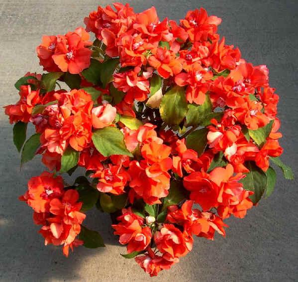 Piante fiorite da esterno all ombra polygala myrtifolia - Azalea pianta da interno o esterno ...
