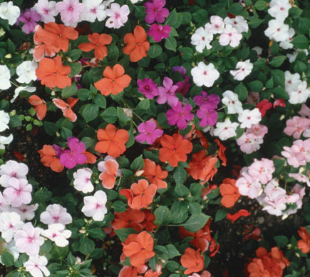 Fiori Ombra.Fiori E Piante Da Ombra Giardinaggio Piante E Fiori