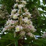 Ippocastano pianta