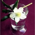 La rosa di Natale - Fiore reciso