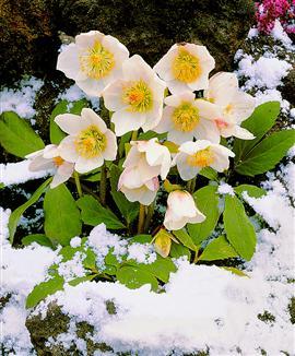 La Rosa Di Natale   Fra La Neve