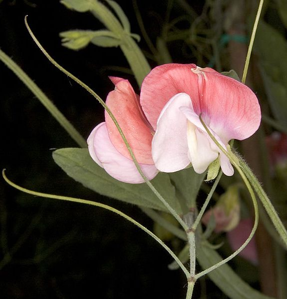 Piante rampicanti perenni e annuali in vaso giardinaggio for Piante rampicanti in vaso