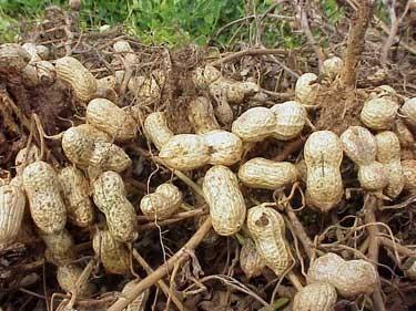 Le arachidi crescono sotto terra