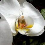 Le orchidee non sono difficili da coltivare