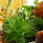 Le piante grasse sono l'ideale per la crescita in casa