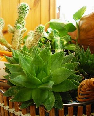 L orto in casa coltivare fra le doppie finestre for Piante grasse da casa