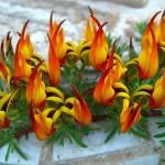 Lotus berthelotii - prosegue la fioritura