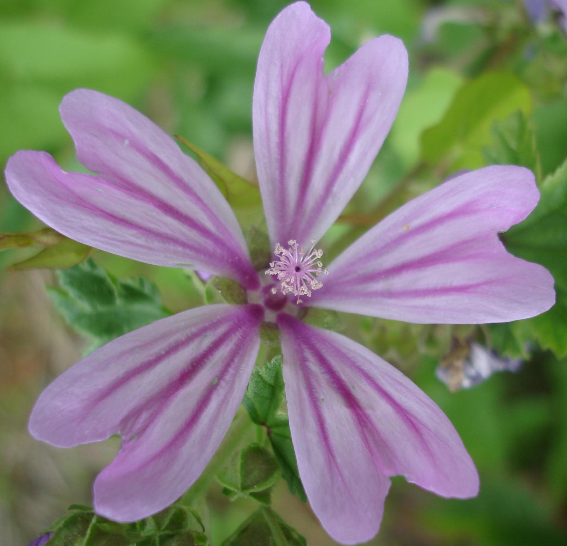 Fiori di campo conoscerli per coltivarli giardinaggio - Grossi fiori da giardino ...