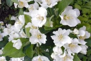 Melo da fiore (Malus)