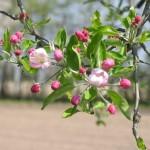 potare alberi frutto
