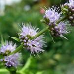 coltivare aromatiche