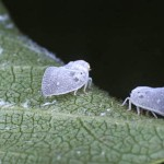 insetti infestanti Metcalfa