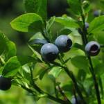 coltivare Mirtillo nero