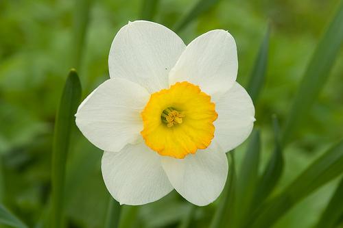 fiore bianco con interno giallo