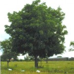 Neem - pianta insetticida