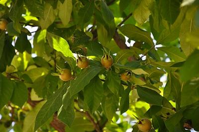 Nespolo selvatico - frutti in maturazione