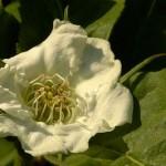 Nespolo selvatico - particolare fiore