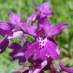 Orchidea Orchis