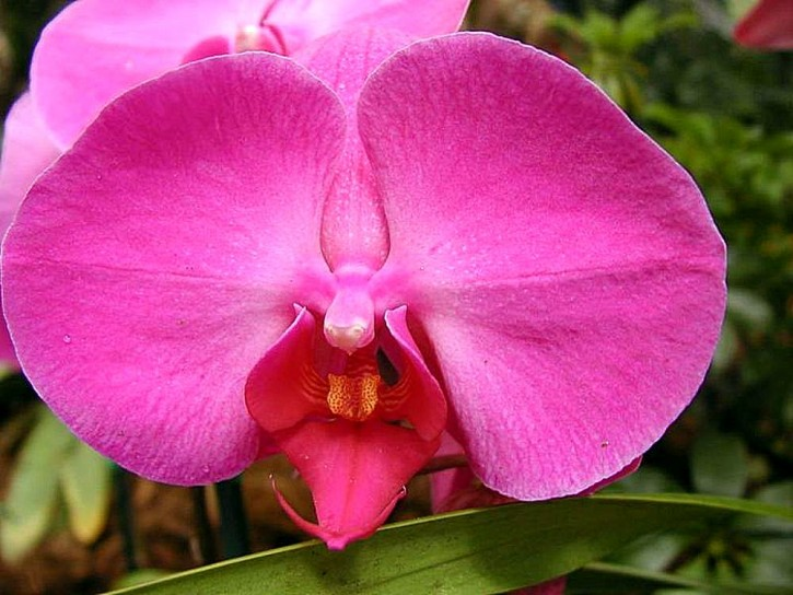 Orchidee - tra le più comuni nei nostri appartamenti
