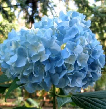 Concimazione e fertilizzazione delle piante consigli - Ortensia blu ...